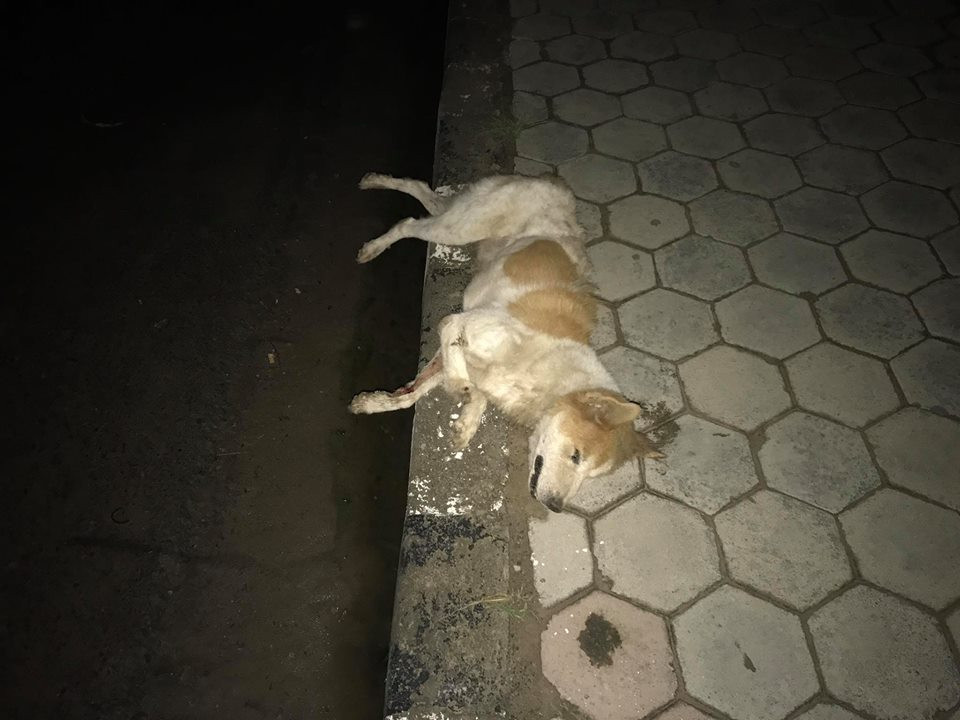 Dead body of a dog in the middle of the street