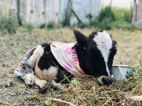 Treatment of injured calf