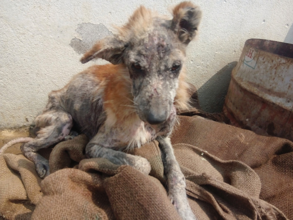 Rescued Dog suffreing from Demodex Mange