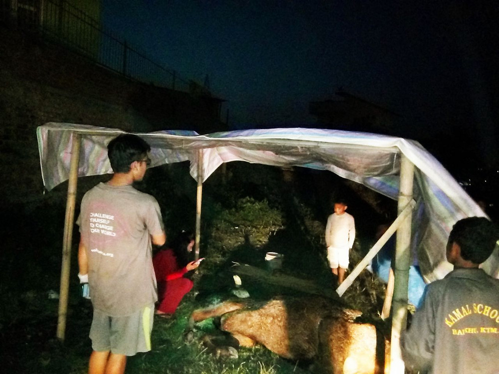 The cow being shifted after the shelter was built