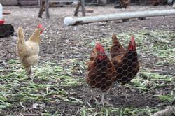 Hens at Springdale