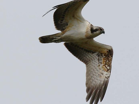 Osprey Translocation Project for Poole Harbour