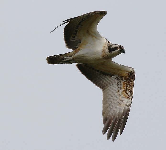 Osprey in Poole Harbour