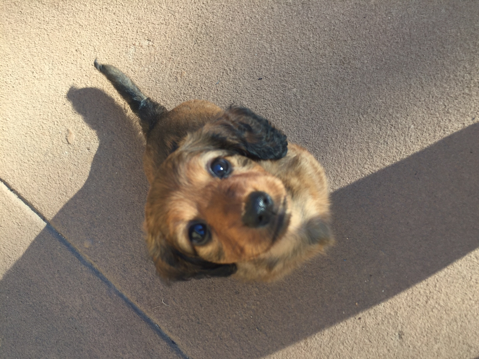dachshund puppies for sale north carolina, south carolina ...
