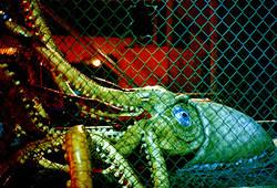 Giant Squid.