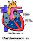 Cardiovascular system.jpg