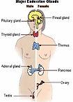 endocrine-system.jpg