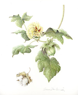 Early Cotton (Gossypium herbaceum)