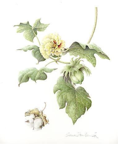 Gossypium herbaceum signature.jpg