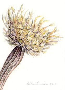 American Basket Flower seedhead