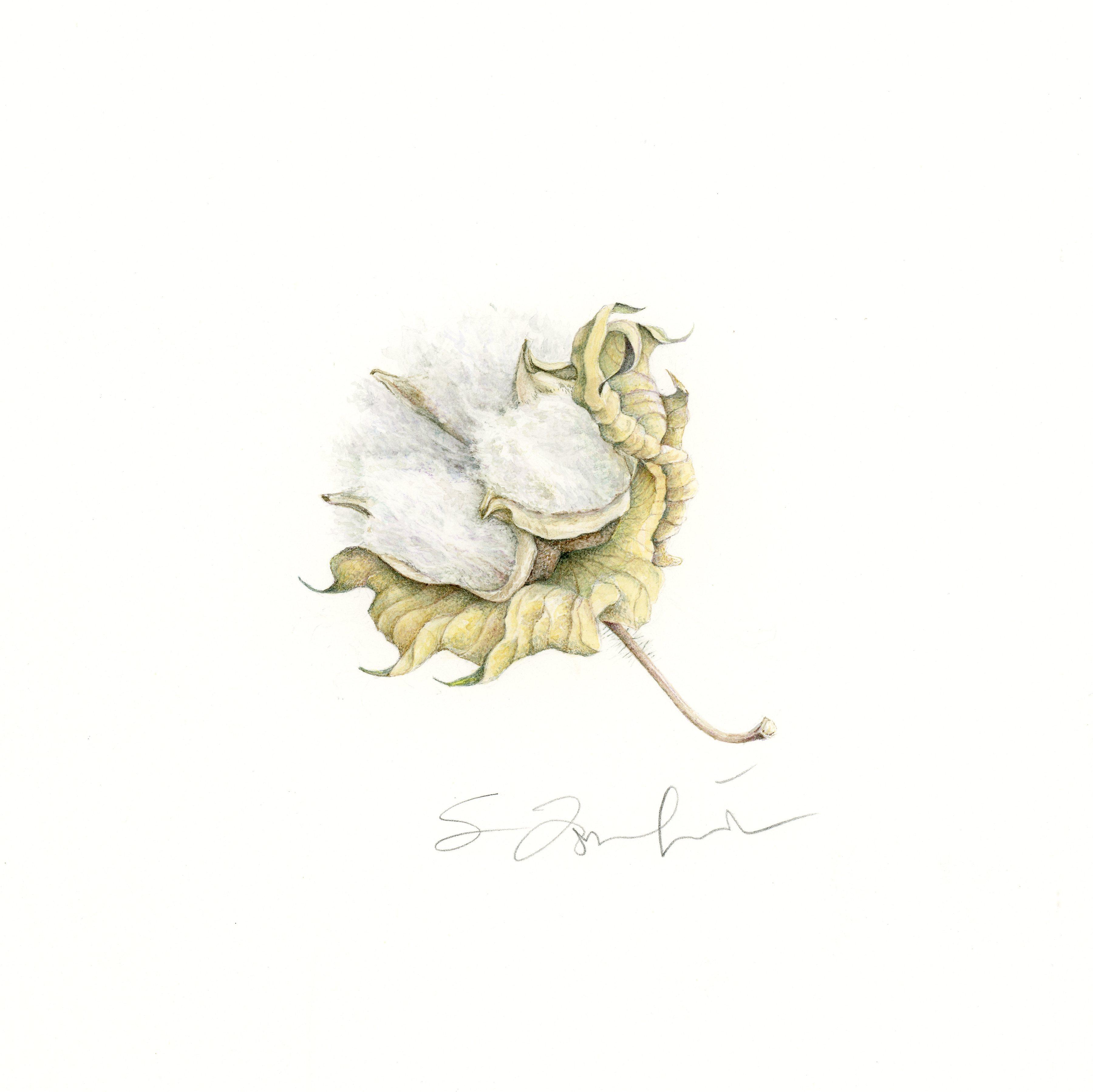Gossypium barbadense (Pima Cotton): A St