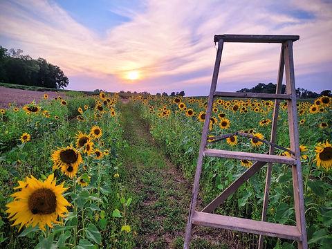 jordan sunflowers.jpg