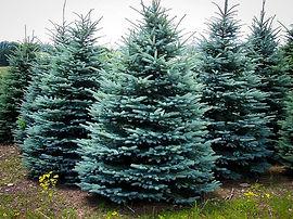 baby-blue-spruce-1.jpg
