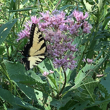 Sweet Joe Pye Weed (eutrochium purpureum)