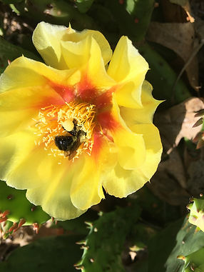 Eastern Prickly Pear (opuntia cespitosa)