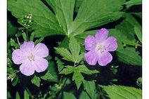 Wild geranium 11.jpg