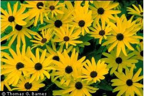 Sweet Black-eyed Susan (rudbeckia subtomentosa)