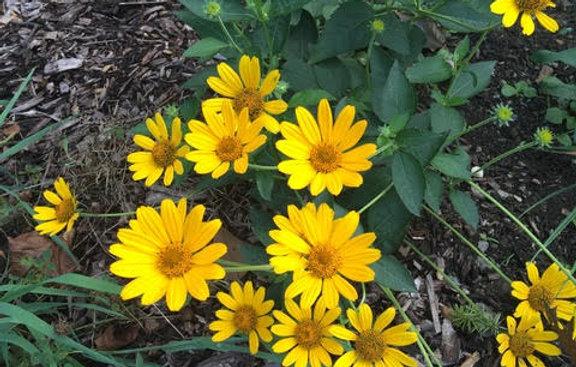 Early False Sunflower