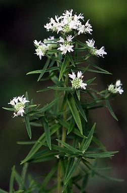 Virginia Mountain Mint (pycnanthemum virginianum)