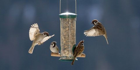 close-up-of-sparrows-flying-by-feeder-ro
