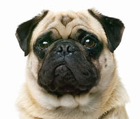 Pug Closeup_edited.jpg