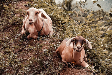brown-and-white-goat-on-brown-and-green-