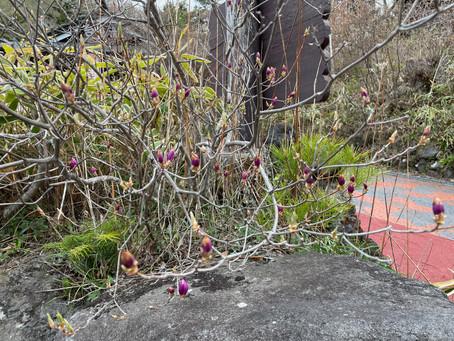 5月の店休日とトウゴクミツバツツジ開花状況