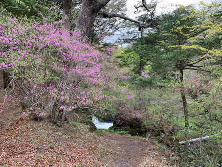 トウゴクミツバツツジ開花