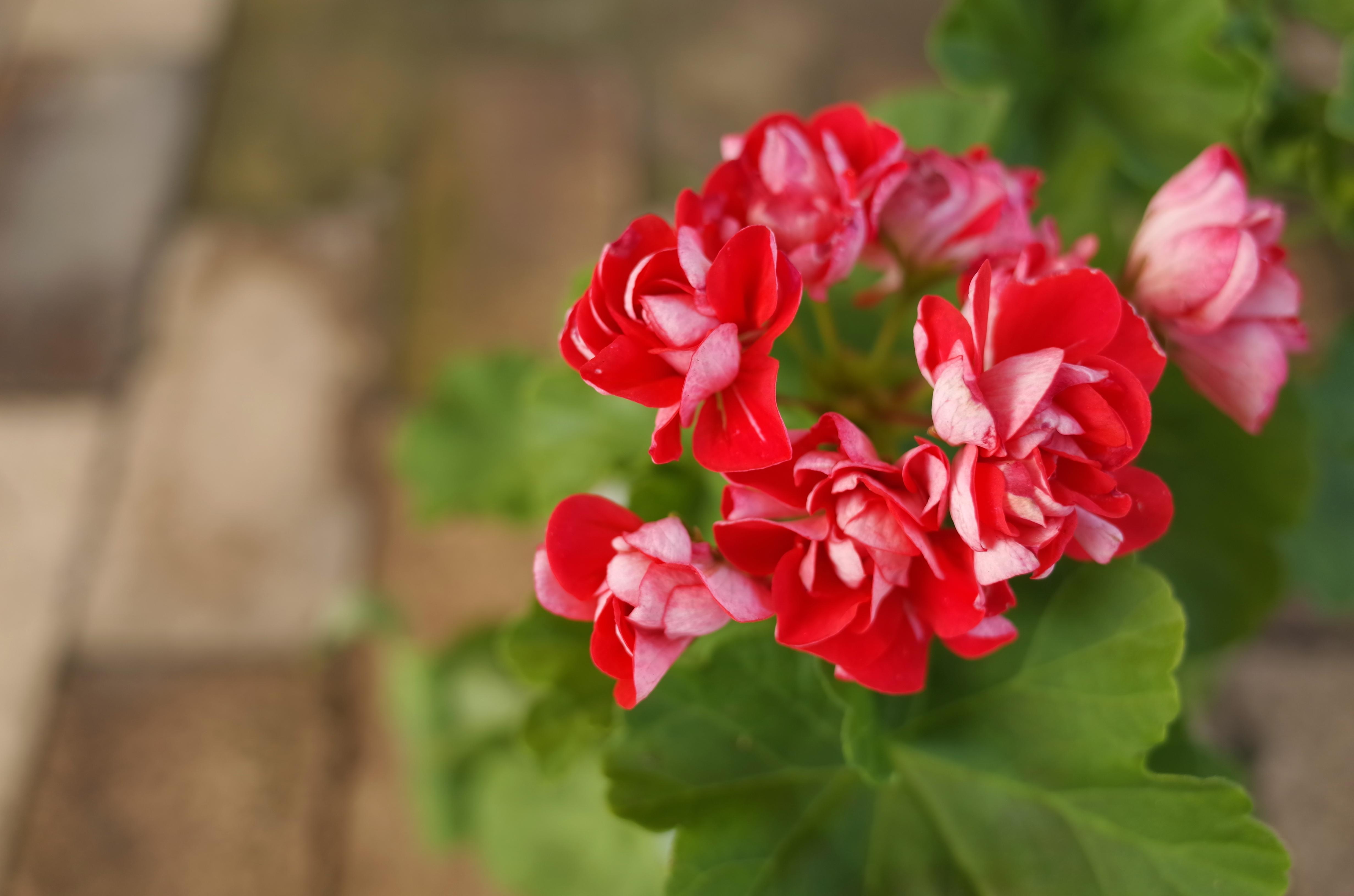 バラ咲きゼラニューム