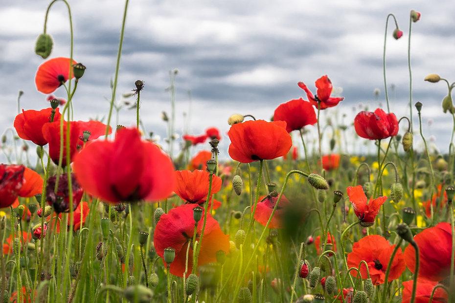 poppy-flower-4246241_1920.jpg
