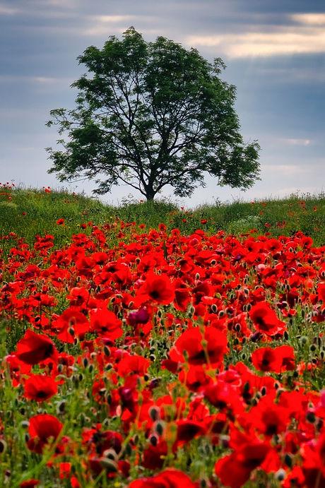 poppies-4291702_1920_edited.jpg