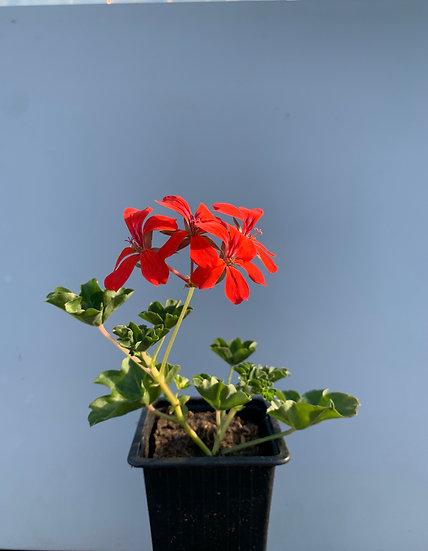 Géranium lierre simple (roi des balcons) godet 8 cms / 6