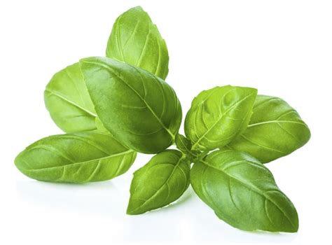 Basilic grosses feuilles