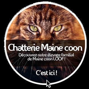 Elevage de Maine coon LOOF à Toulouse et adoption de chaton