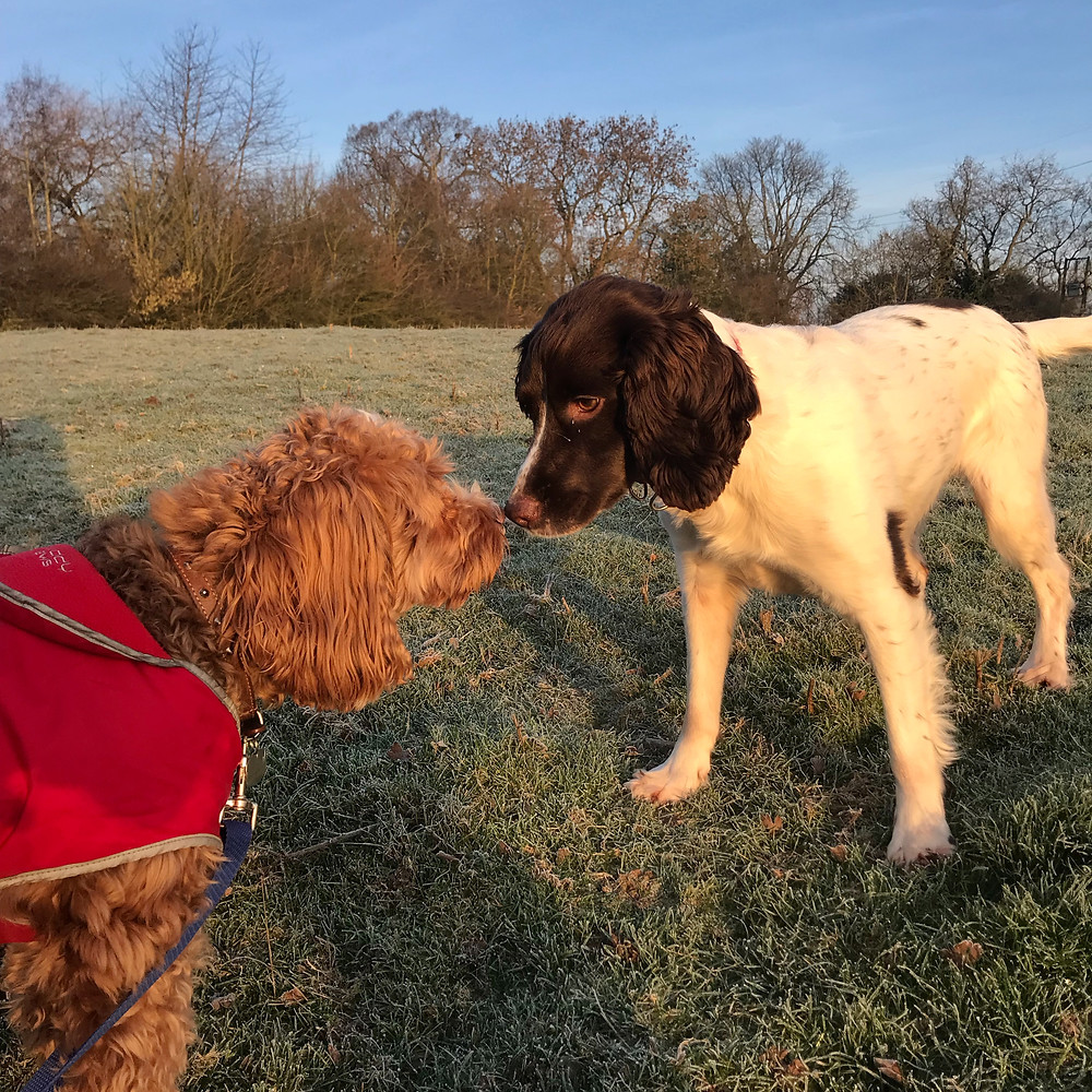 Spaniel and Cockapoo
