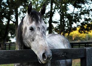 Gray Horse Leiper's Fork, TN