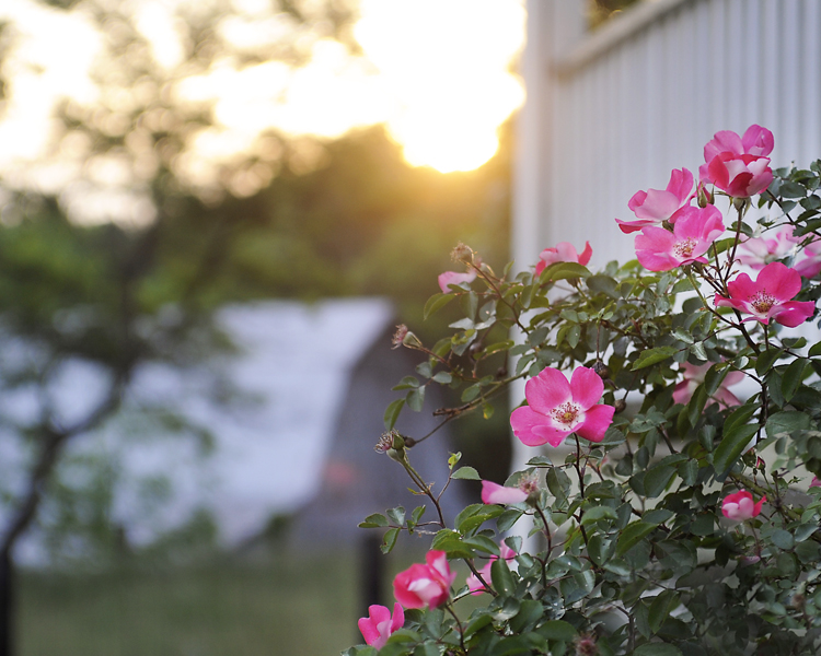 RosebushandBarn1