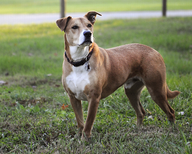Elvis the Boxer / Hound Mix