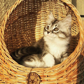 Emerhills Enigma #kittensofinstagram #si