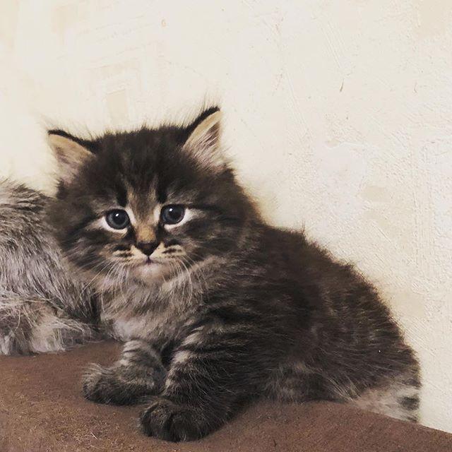 #kittensofinstagram #siberiankittens  #i