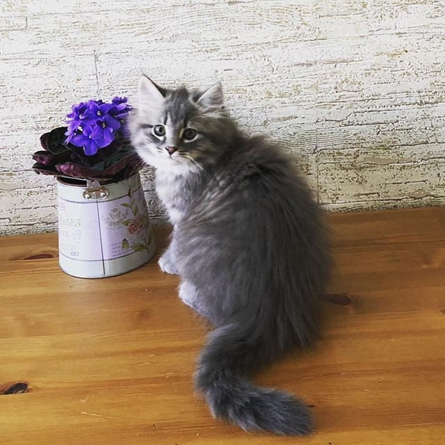Emerhills Fanfan 2 months #cats_of_insta