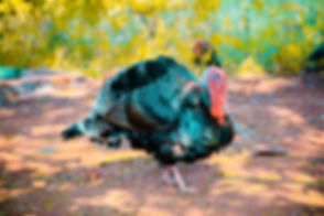Canva - Two Black Turkeys.jpg