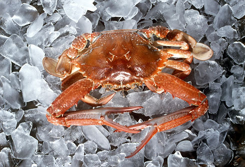 Canva - Crab on Ice.jpg
