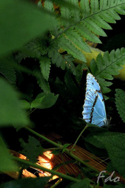 Borboleta Azul.jpg