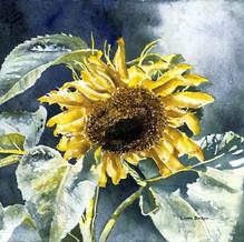 Seasons of Summer-Sunflower