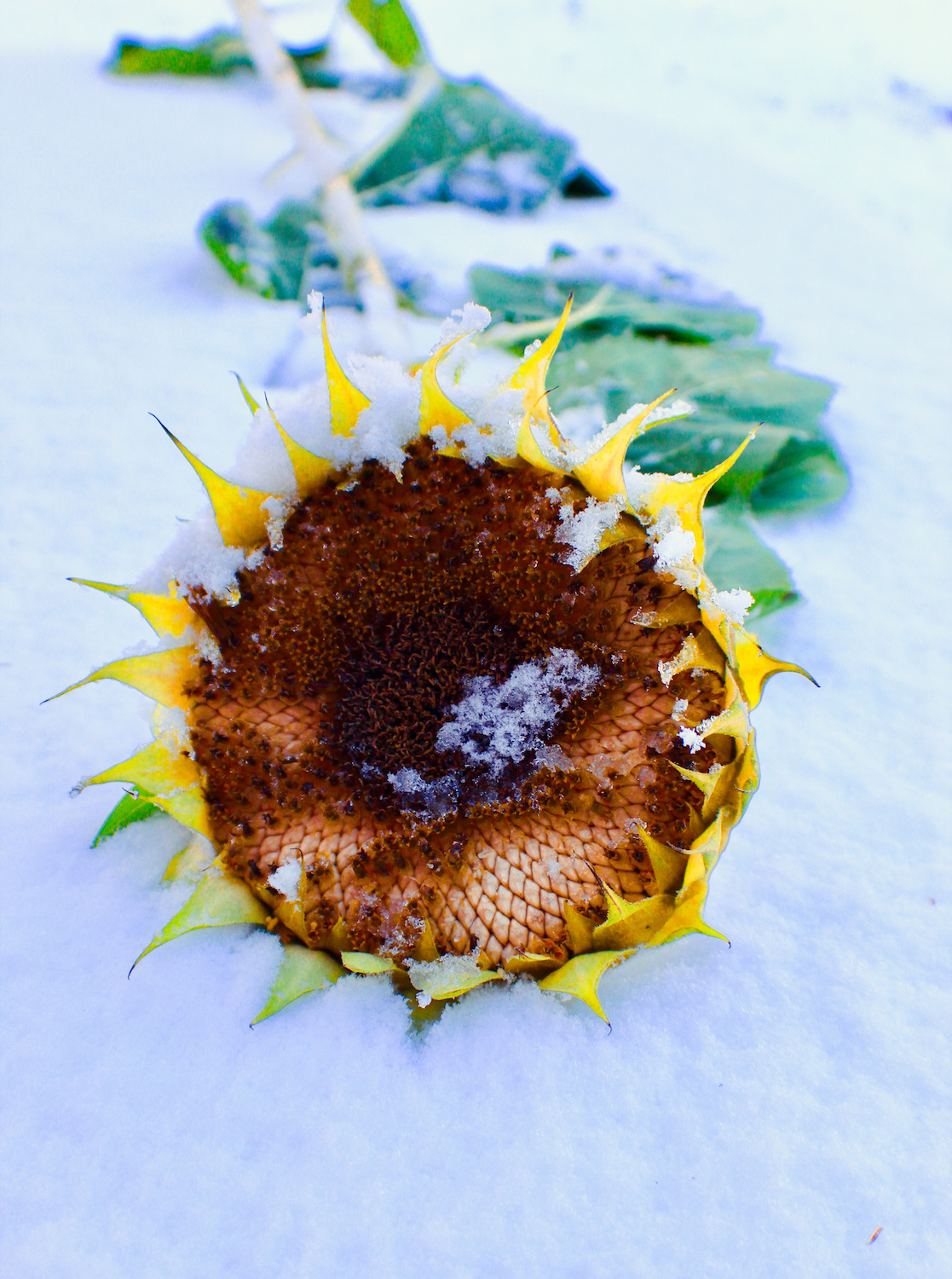 """""""Sunflower in Snow"""", Photography, 19""""x13"""""""