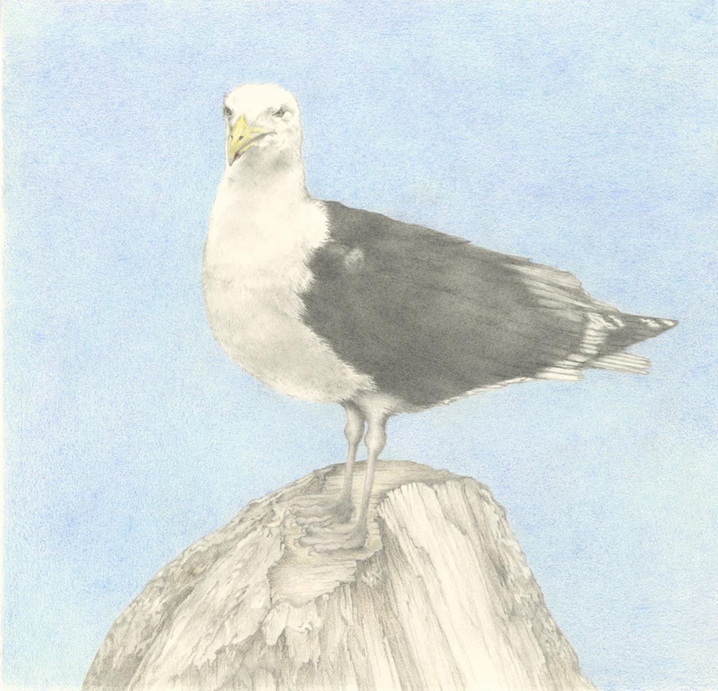 """""""Seagull"""", Graphite and Colored Pencil, 9""""x9"""""""