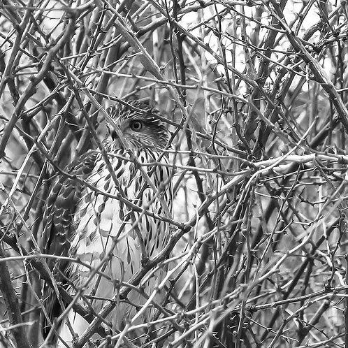 Hawkeye, Lindsay McGrath, Photography - , 16 x 16