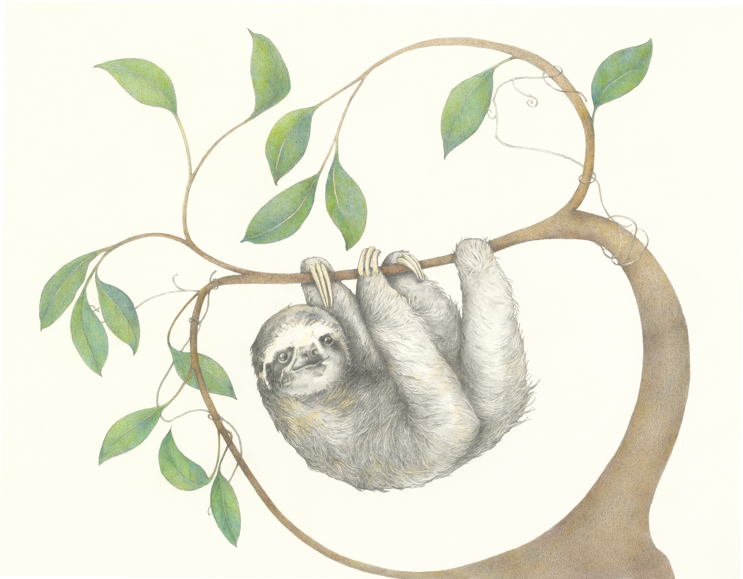 """""""3-Toed Sloth"""", Colored Pencil and Graphite, 14""""x18"""""""
