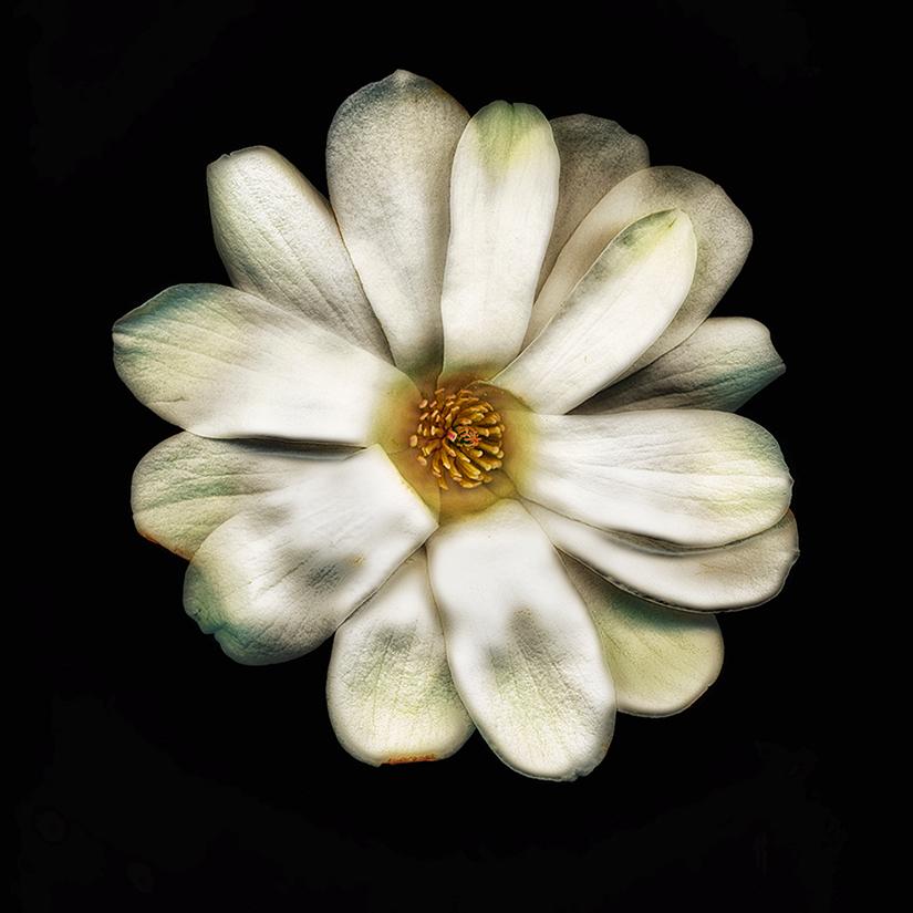 """Magnolia"", Photography, 16""x16"""